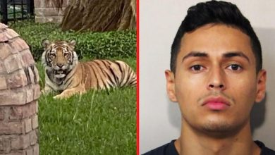 Photo of Tiger missing for days recovered in Texas; its alleged owner faces murder charge